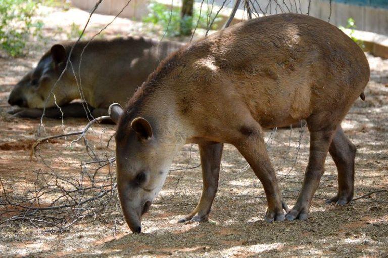 Los tapires fueron robados del zoológico de Zulia. La imagen es del 2016. Foto: Parque Metropolitano del Estado de Zulia.