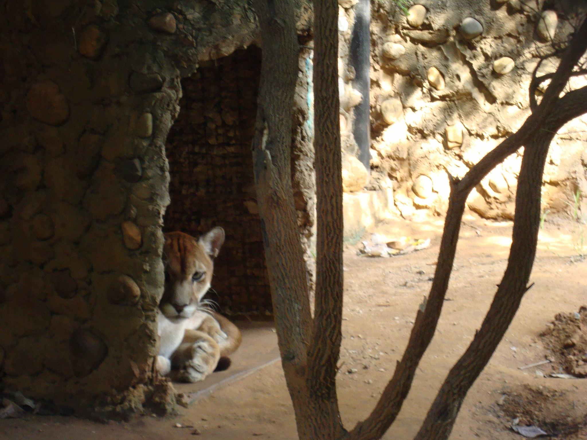 Los felinos eran parte del atractivo del zoológico de Zulia. La imagen es del año 2016. Foto: Parque Metropolitano del Estado de Zulia.