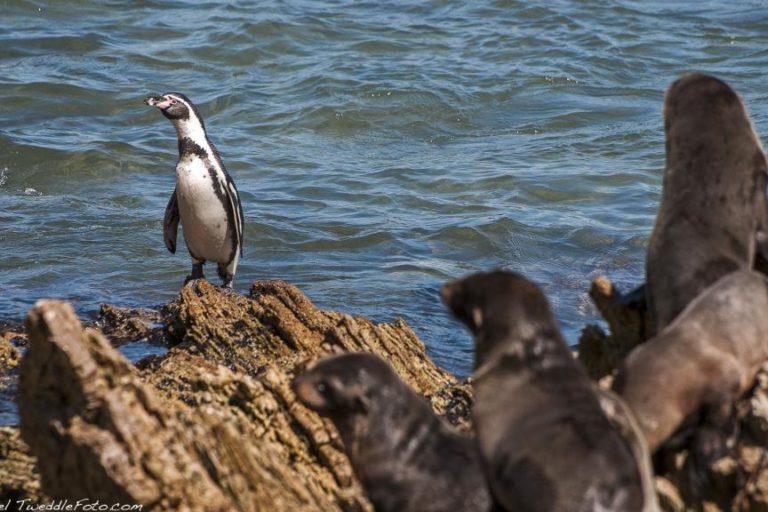 El pingüino de Humboldt es una especie en peligro. Foto: Michael Tweddle.