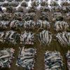 Tiburones capturados en Kesennuma, Japón. Foto de Shawn Heinrichs