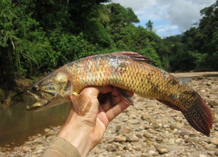 El Centro de Innovación Científica Amazónica realiza investigaciones sobre la presencia de mercurio en peces Foto: Cortesía CINCIA.