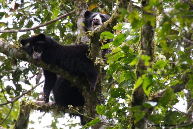 Oso de anteojos, uno de los mamíferos que habita en la Reserva de la Biósfera del Chocó Andino. Foto: Santiago Molina.