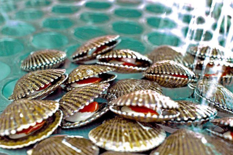 Sechura es el lugar más importante en producción de conchas de abanico. Foto: Agencia Andina.