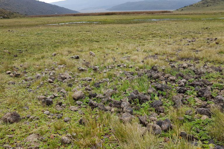 El excremento del ganado puede verse en todos los alrededores de la laguna de Limpiopungo. Foto: Cortesía de Santiago Ron.