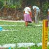 Existen 33 hectáreas de cultivos ilegales de hoja de coca dentro del área protegida del Tipnis. Foto: El Deber