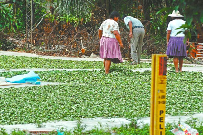 Los cultivos ilegales de hoja de coca han entrado al área protegida del Tipnis. Foto: El Deber