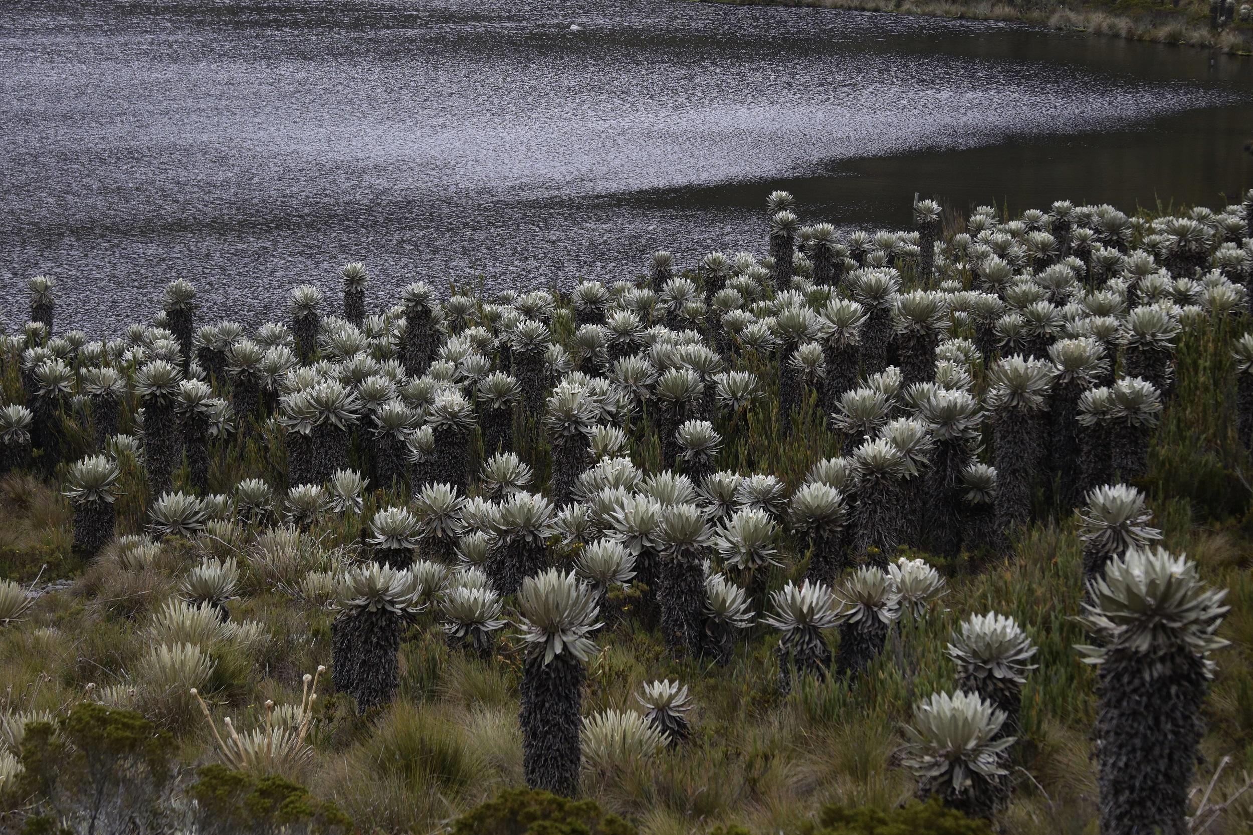 El frailejón es una especie típica de los ecosistemas de páramo. Foto: Gobernación de Boyacá.