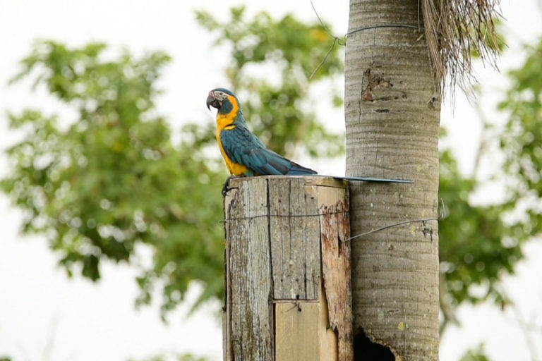 La paraba barba azul es una de las 17 especies de aves que solo se encuentran en Bolivia. Foto: Asociación Armonía.