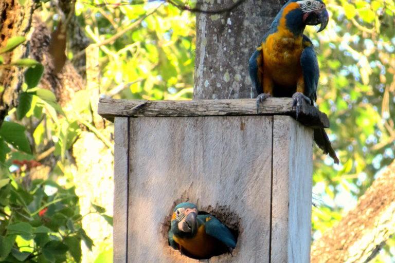 En los últimos once años 76 pichones nacieron en los nidos artificiales. Foto: Asociación Armonía.