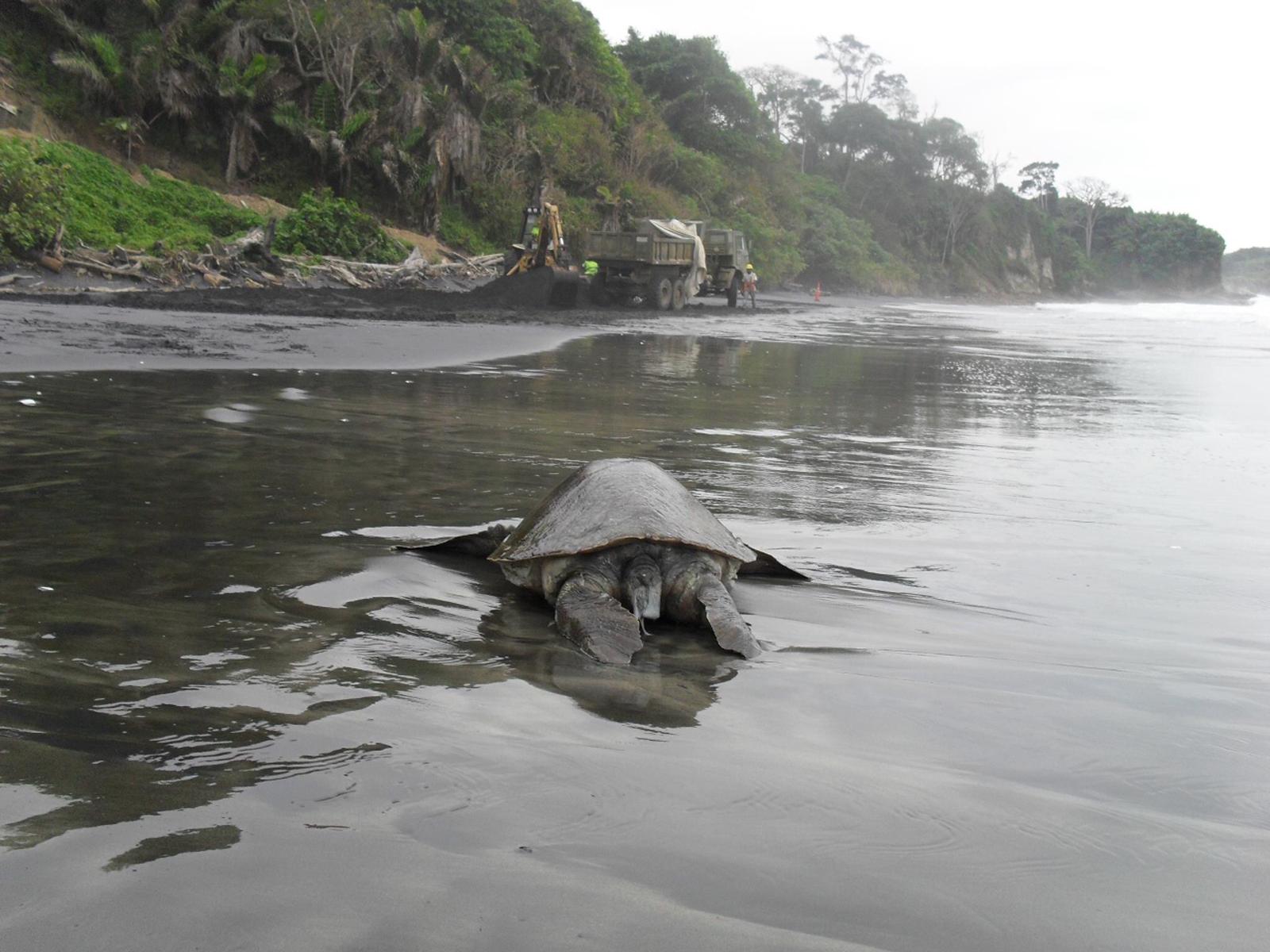 Según un informe de la ONG Acción Ecológica, la minería en Playa Negra destruye el hábitat de la tortuga Carey. Foto: Comuna de Mompiche.