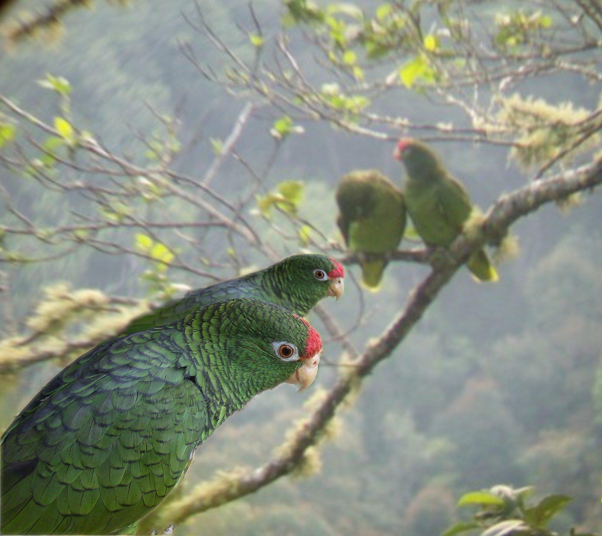 El loro pinero es una especie categorizada como Vulnerable según la Unión Internacional para la Conservación de la Naturaleza. Foto: Asociación Armonía.