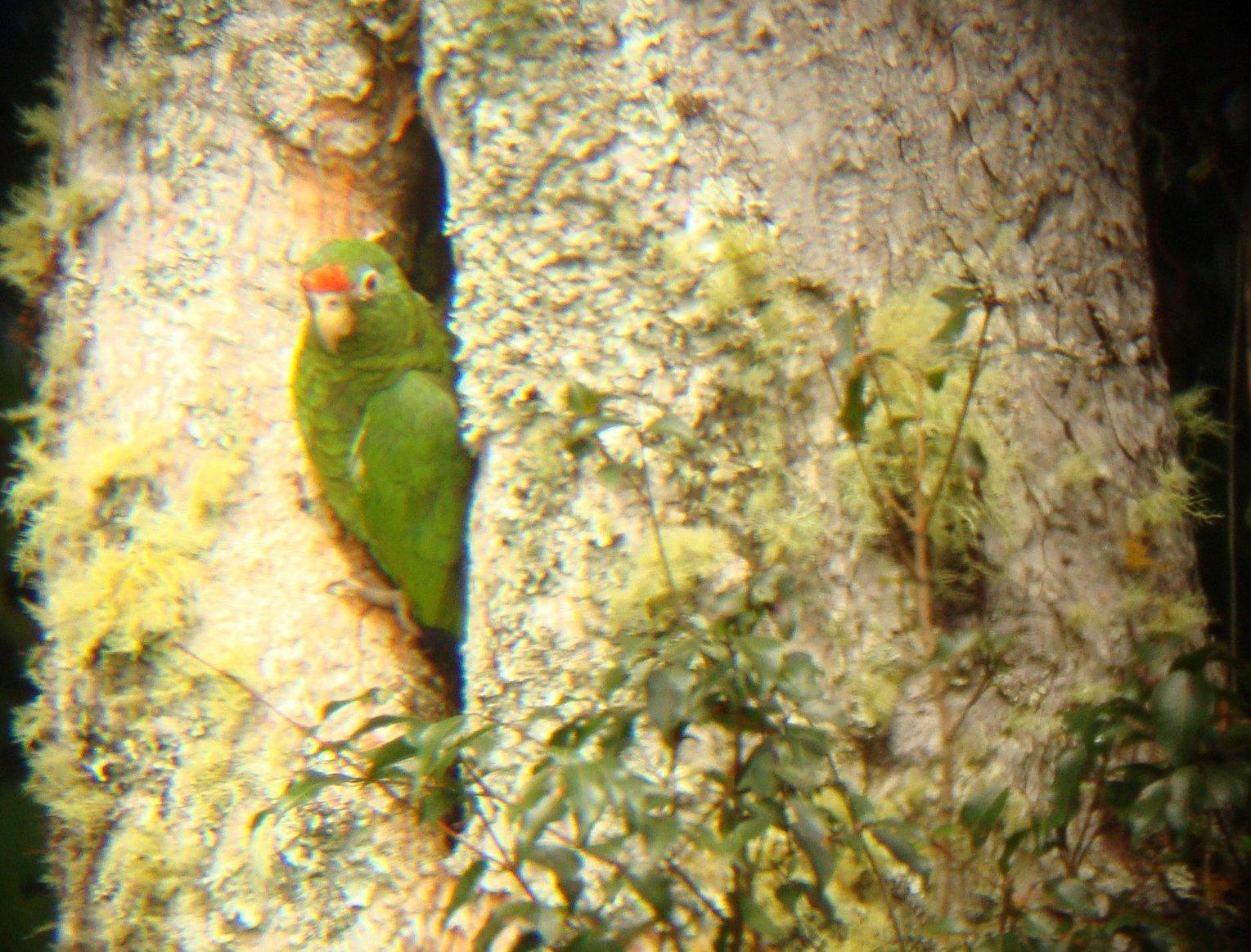 El robo de las crías de sus nidos es una de las principales amenazas del loro pinero. Foto: Proyecto de Conservación del Loro Pinero.
