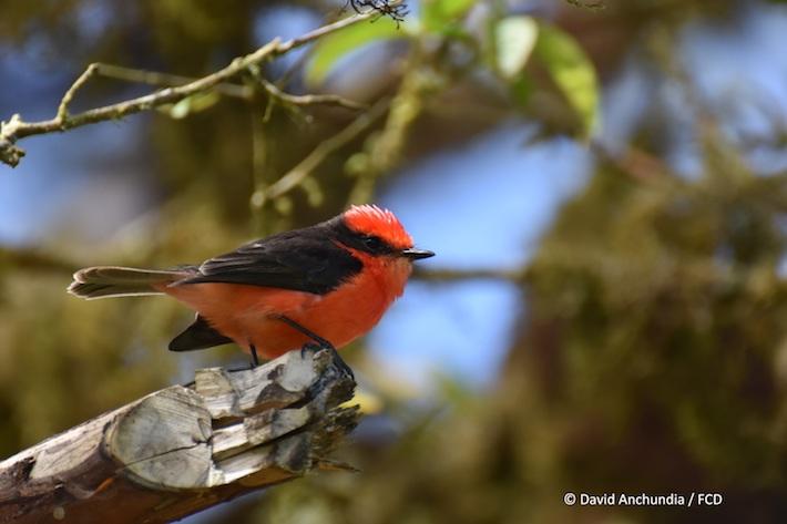 La población de la especie de ave conocida como Brujo ha sufrido una disminución en varias islas de Galápagos. Foto: David Anchundia de la Fundación Charles Darwin.