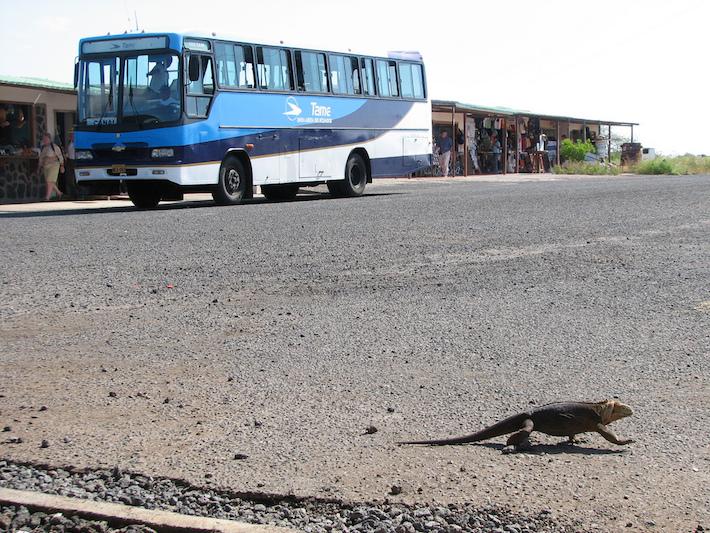 Iguana de tierra cruzando la vía del aeropuerto de Baltra. Foto: NH53 - Flickr.
