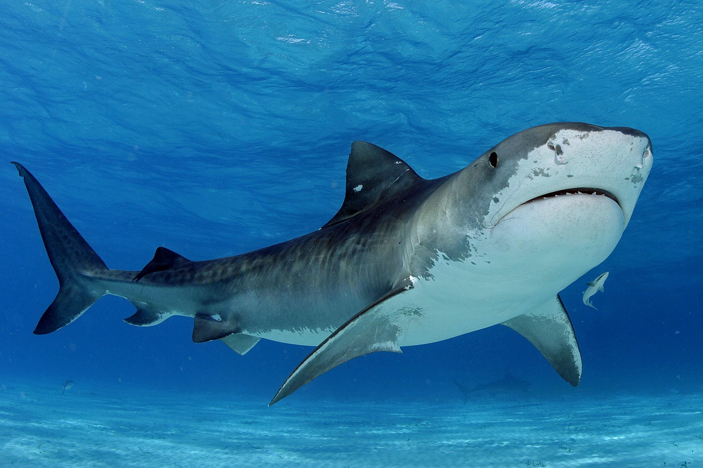 El Tiburón es uno de los peces más pescados de forma ilegal en Colombia, sobre todo por parte de flotas pesqueras extranjeras que entran a aguas colombianas. Foto: ©JimAbernthy.