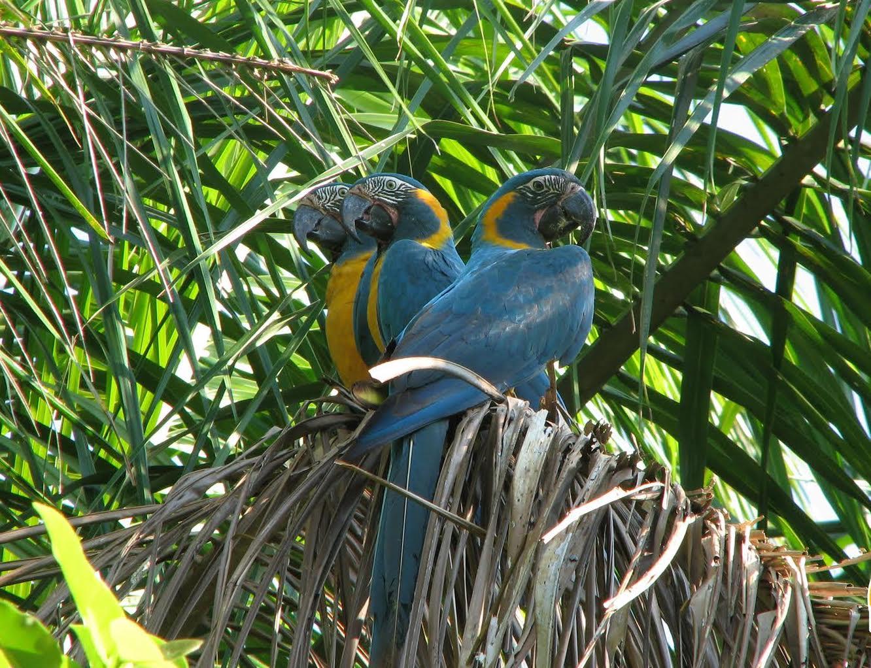 Las plumas de la paraba barba azul se utilizaban en la indumentaria de la danza El Machetero. Foto: Fundación para la Conservación de los Loros en Bolivia.