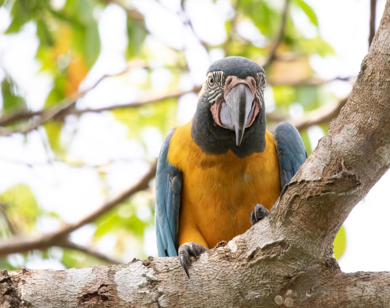 El tráfico de especies es una amenaza constante para esta especie. Foto: Fundación para la Conservación de los Loros en Bolivia.
