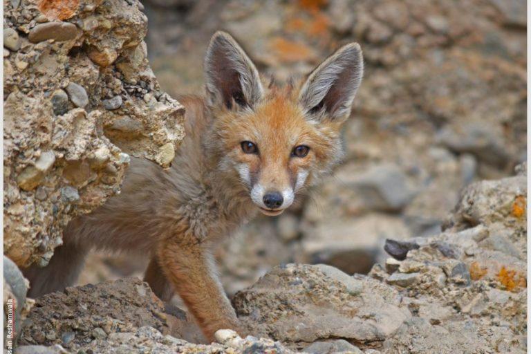 El abastecimiento humano comprendía un tercio de la dieta de zorro rojo en el pueblo de Leh, Ladakh. Imagen de Hussain S. Reshamwalaa