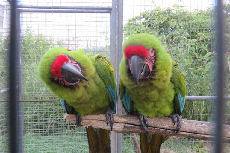 El guacamayo verde de Guayaquil es una especie que llega a vivir hasta 80 años. Foto: Fundación Jocotoco.