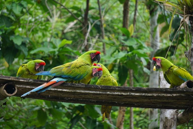 Según la Unión Internacional para la Conservación de la Naturaleza en Ecuador quedan entre 30 y 40 individuos de esta especie. Foto: Fundación Jocotoco.