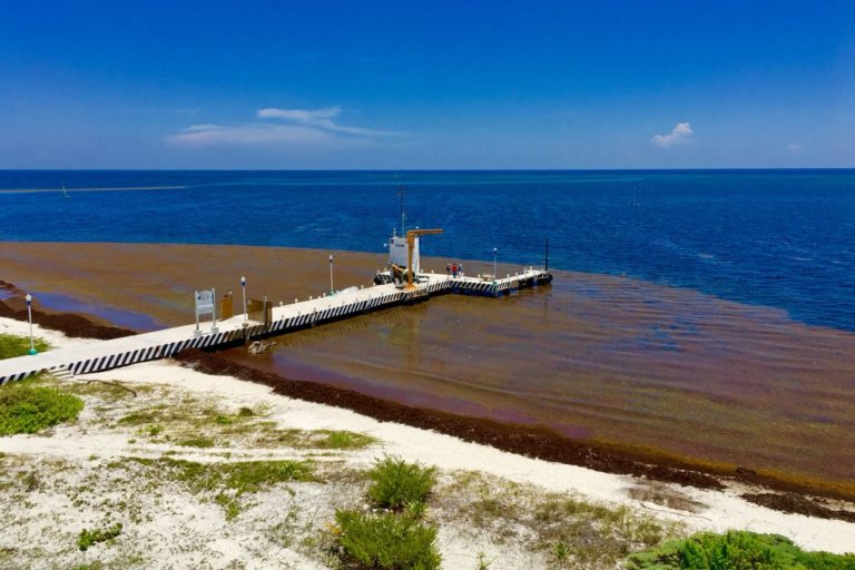 Las llegadas masivas de sargazo provocan la muerte de fauna y flora marina, vuelven las aguas color marrón o verde y amenazan a los arrecifes coralinos. Foto: Marta García