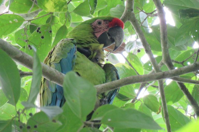 Se espera que los guacamayos se reproduzcan en libertad para que aumente la población de esta especie. Foto: Fundación Jocotoco.