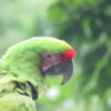 Se calcula que en Ecuador solo quedan entre 30 y 40 aves en estado silvestre de esta especie en peligro crítico de extinción. Foto: Fundación Jocotoco