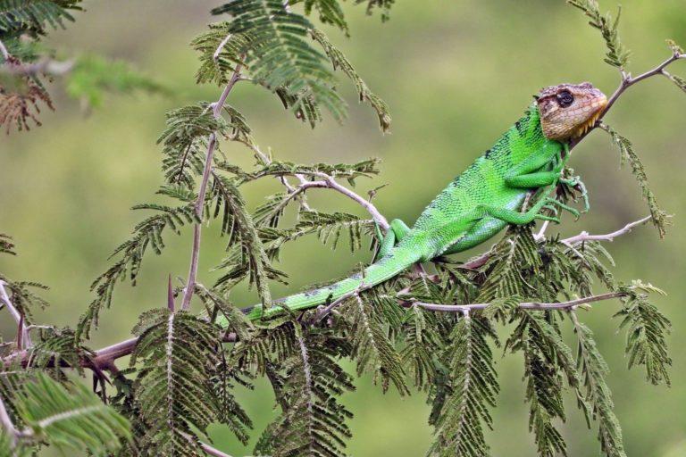 Seis especies de reptiles endémicos han sido catalogados dentro de los bosques secos del Marañón. Foto: Naturaleza y Cultura Internacional.