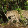 Un funcionario de la Autoridad Regional Ambiental (ARA) del Gobierno Regional de Loreto confirma la demanda por los colmillos de jaguar, mientras que vendedores sostienen que ciudadanos chinos figuran entre los compradores más interesados. Foto: Eduardo Franco Berton