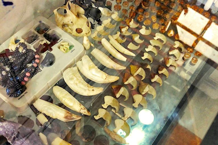 En las tiendas de artesanías de Iquitos se comercializan colmillos, cráneos y garras de jaguar. Foto: Eduardo Franco Berton.