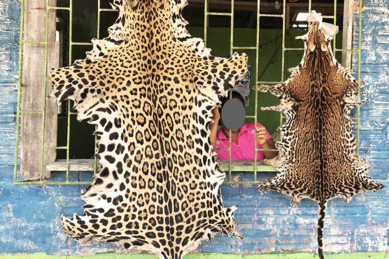 Trafico de jaguar En Iquitos, Perú, ofrecen todas las partes del jaguar. Foto: Eduardo Franco Berton.