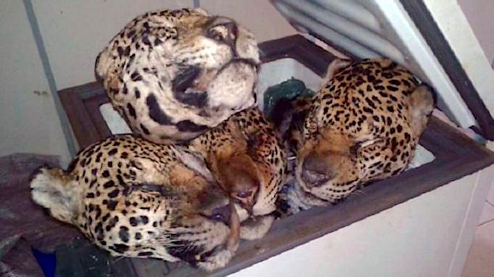 Cabezas de jaguar encontradas en el decomiso de Curionópolis, Pará, en 2016. Este caso alarmó a la población brasileña y a las autoridades que participaron en el operativo. Foto: Assessoria de Comunicação da Segup.