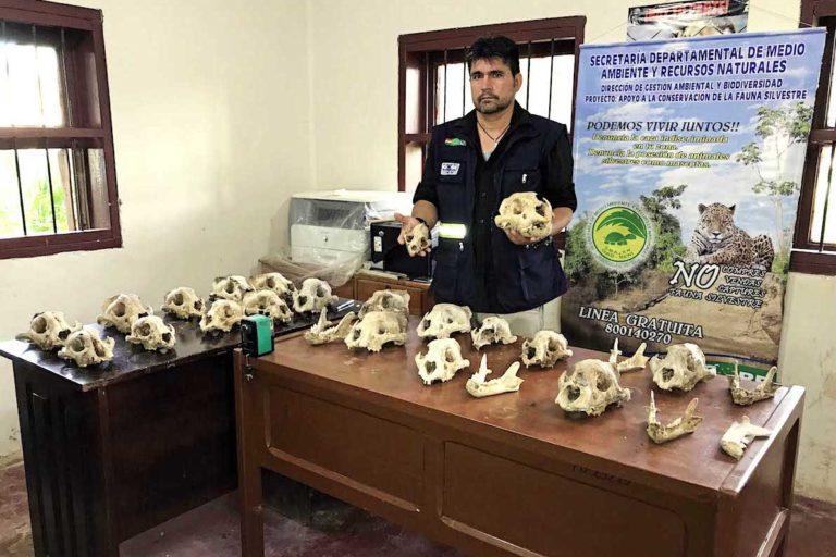 Un recorrido por el mercado negro de partes de jaguar demuestra cómo operan vendedores y contrabandistas en el Beni, escapando de leyes, controles y fiscalizaciones.