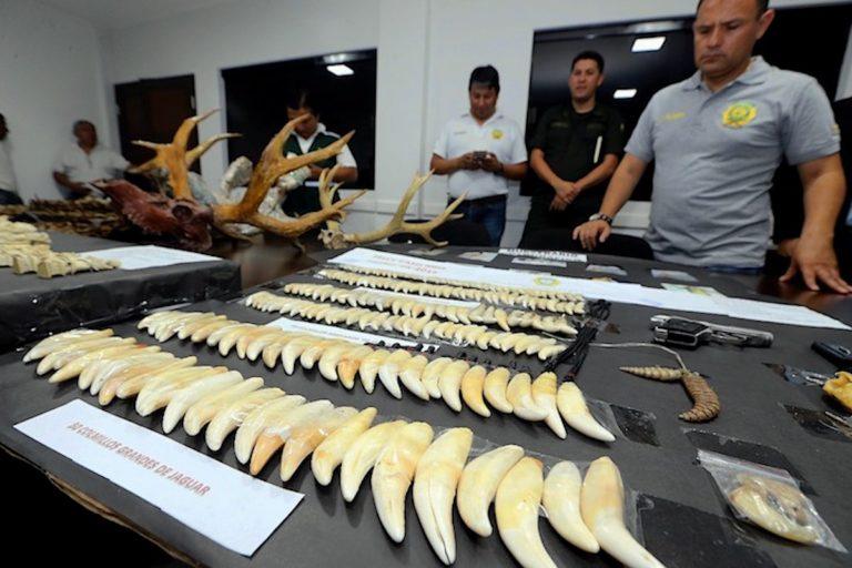 Tráfico de jaguarLos colmillos de jaguar son buscados por los traficantes para enviarlos al mercado asiático. Foto: El Deber.