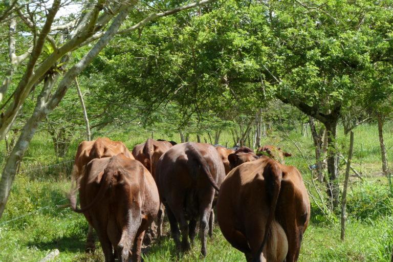 Intensificación sostenible en zonas aptas para ganadería. Foto: Andrés Zuluaga.