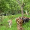 En la ganadería sostenible, las cercas vivas consisten en la siembra o manejo de árboles en reemplazo de postes. Sirven como corredores biológicos y contribuyen a la conservación de la biodiversidad. Foto: Juan Carlos Gómez.