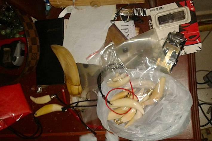 Según los testimonios durante el juicio, los colmillos estaban pulidos y algunos armados en collares, listos para ser comercializados. Foto: Freddy Anzoátegui / Gobernación de Santa Cruz,
