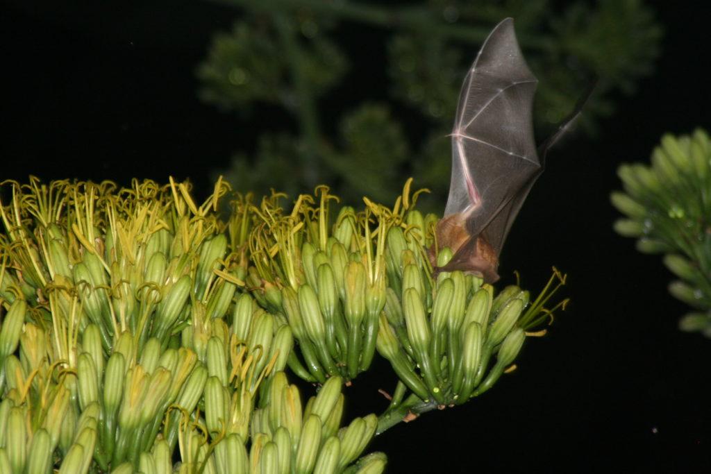 El Tequila Interchange Project es una propuesta para rescatar el agave y a los murciélagos. Foto: Tequila Interchange Project