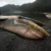 Ballenas encontradas muertas en 2015, en los fiordos de la Península Taitao, Patagonia, Chile. Foto: Vreni Häussermann