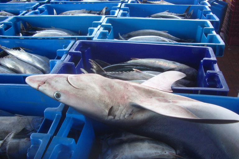 Tiburón azul en el mercado de Pucusana, en Lima, Peru. Foto: Oceana.