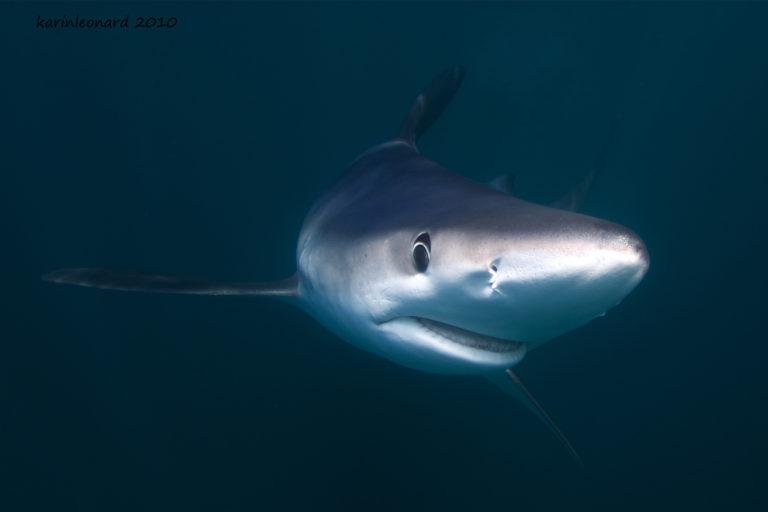 El tiburón azul es una especie que tiene un régimen de veda entre enero y marzo. Foto: Oceana.