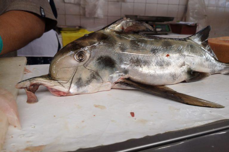 El tiburón gallo es vendido como tollo gallo, especie que no existe. Foto: Sandra Otoya.