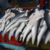 El mar peruano alberga 66 especies de tiburones y por lo menos 32 de éstas son capturadas en pequeña escala. Foto: Oceana