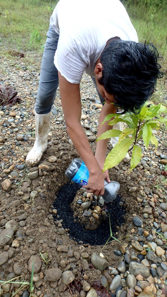 Técnico de CINCIA echando biocarbón, hecho de cáscara de castaña, a una planta que comienza a germinar. Es un abono orgánico muy eficiente. Foto: CINCIA.