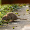 Una rata en la ribera de un río. Foto de Michael Palmer, vía Wikimedia Commons