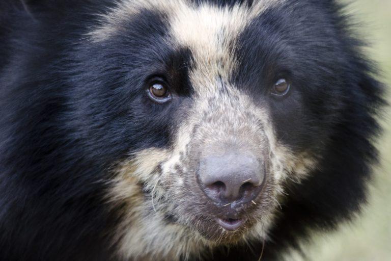 Aunque se asocia al oso andino con la muerte de animales domésticos y ganado, su dieta es principalmente vegetariana. Foto: Arizona Center For Nature Conservation / Phoenix Zoo.