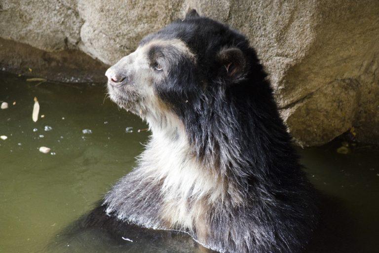 Ancestralmente, los pueblos indígenas colombianos han relacionado al oso andino con el agua y la fertilidad. Foto: Arizona Center For Nature Conservation / Phoenix Zoo.