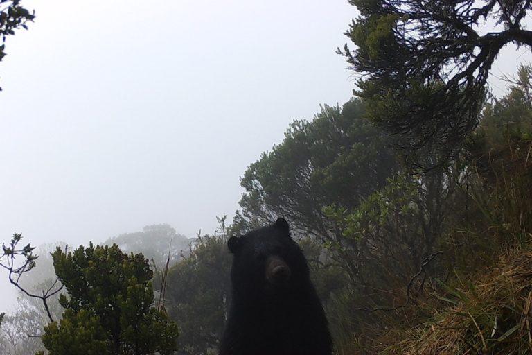 Oso andino captado recientemente por una cámara trampa en el Parque Nacional Chingaza, cerca de Bogotá. Foto: Mauricio Vela.