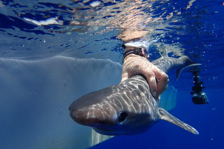 Tiburón Atlantic Sixgill. Foto: MarAlliance-Ivy Baremore