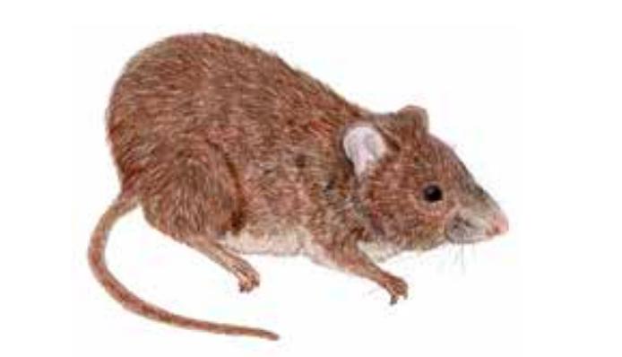 Especie endémica que habita en las Lomas de Lima. Fuente: Libro rojo de fauna silvestre amenazada en Perú / Serfor.